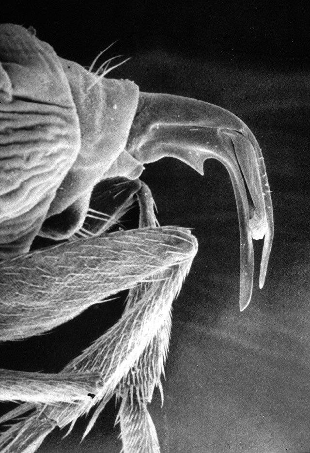Pseudacteon curvatus - ovipositor