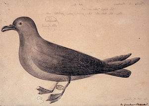 Pseudobulweria - an illustration of the Mascarene petrel from 1771