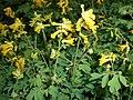 Pseudofumaria lutea 2015-06-20 3414.jpg