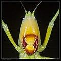 Pseudorhynchus sp cf gigas (19946558354).jpg