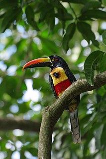 Fiery-billed aracari species of bird