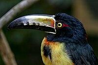 Pteroglossus torquatus -uper body-8a