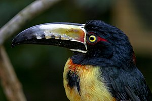 Conservation in Belize - A colourful collared aracari (Pteroglossus torquatus).