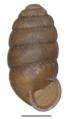 Pupilla muscorum shell 3.png