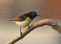 Purple-rumped Sunbird (Leptocoma zeylonica)- Male on Kapok (Ceiba pentandra) in Kolkata W IMG 3934.jpg