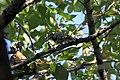 Pygmy Woodpecker - Flickr - GregTheBusker.jpg