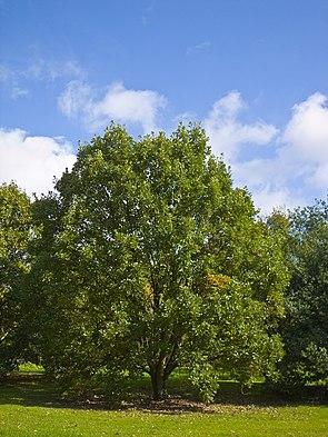 Zweifarbige Eiche (Quercus bicolor)