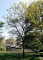 Quercus petraea - Palmengarten Frankfurt.jpg