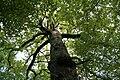 Quercus robur - La Hulpe (1b).JPG