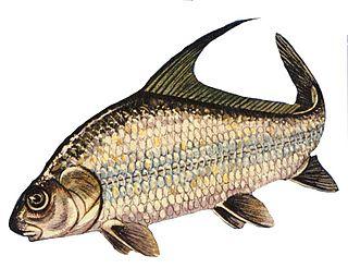 Quillback Species of fish