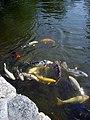 RWU Koi Pond 2.jpg