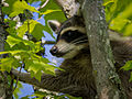 Raccoon-27527-1.jpg