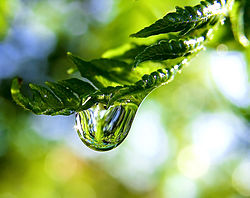 Raindrop on a fern frond.jpg