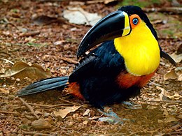 Ramphastos vitellinus -Brazil-8