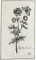 Ranunculus arvensis de Pierre Garidel 1659-1737.jpg
