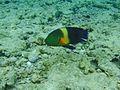 Ras Mohamed rain-bowfish.jpg