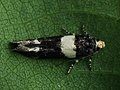 Recurvaria leucatella - White-barred groundling moth (40012448665).jpg