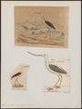 Recurvirostra orientalis - 1700-1880 - Print - Iconographia Zoologica - Special Collections University of Amsterdam - UBA01 IZ17400175.tif