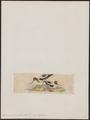 Recurvirostra rubricollis - 1820-1860 - Print - Iconographia Zoologica - Special Collections University of Amsterdam - UBA01 IZ17400169.tif