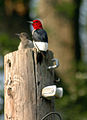 Red-Headed Woodpeckers (Melanerpes erythrocephalus).jpg