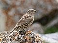 Red-fronted Rosefinch (Carpodacus puniceus) (25766538428).jpg