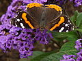 Red Admiral .JPG