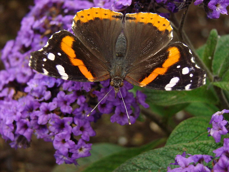 File:Red Admiral .JPG