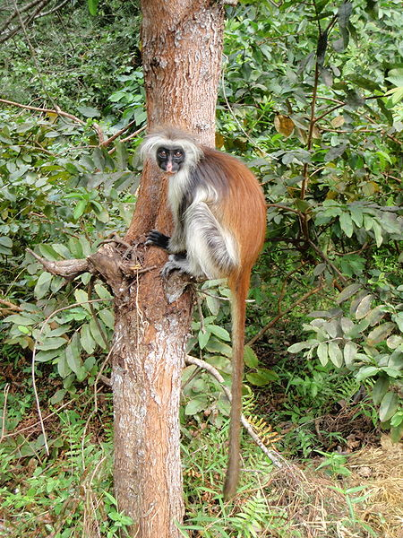 File:Red Colobus 5.jpg