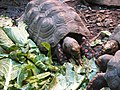 Red Footed Tortoise.jpg