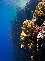 Red Sea Corals (223656591).jpeg