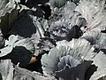 Red cabbage from lalbagh 2302.JPG