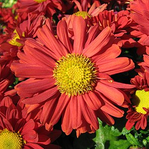 A red chrysanthemum. (I have no idea what spec...