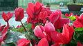 Red flower 031.jpg