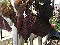 Red leaves of Cercis canadensis 20190521.jpg