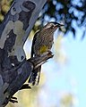 Red wattlebird (Anthochaera carunculata) - Flickr - Lip Kee.jpg