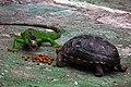 Redfoot ^ Green Iguana 紅腿龜與綠鬣蜥 - panoramio.jpg