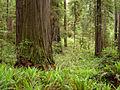 Redwoods Jedediah Smith Redwoods State Park 2.jpg