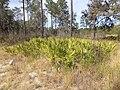 Reed Bingham State Park palmetto bushes on Gopher Tortoise Trail.JPG
