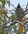 Regent Honeyeater in Corymbia maculata, Lower Hunter Valley, NSW.jpg