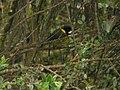 Regent Whistler (2885679616).jpg