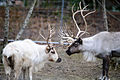Reindeer Father and Son (15844933795).jpg