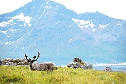 Reindeer in Norway -Rekvika -Troms - Norway.jpg