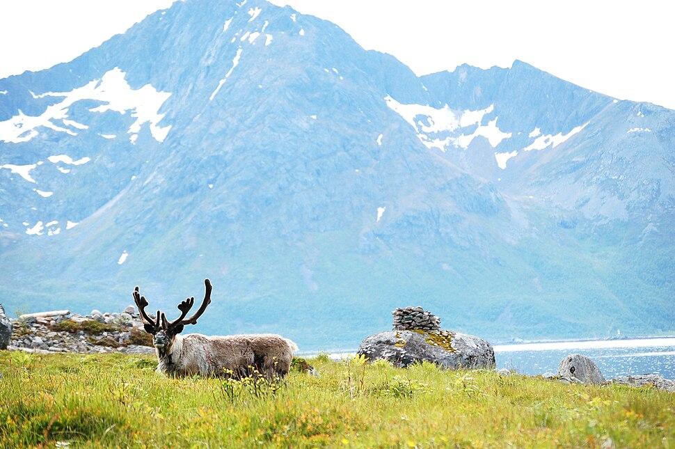 Reindeer in Norway -Rekvika -Troms - Norway