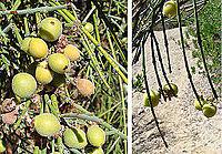 Retanilla ephedra of the Rhamnaceae (8404890449).jpg