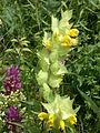 Rhinanthus alectorolophus-subsp-buccalis route-villote-sur-aire 55 090602 5.JPG