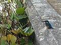 Rhinefield, pondside kingfisher - geograph.org.uk - 1010620.jpg