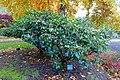 Rhododendron catawbiense 'Album' - Oregon Garden - Silverton, Oregon - DSC00218.jpg