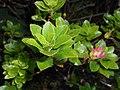 Rhododendron hirsutum 2018-05-22 2538.jpg