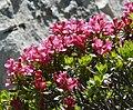 Rhododendron hirsutum 250708a.jpg
