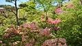 Rhododendron in Noshiro Park 20190519f.jpg
